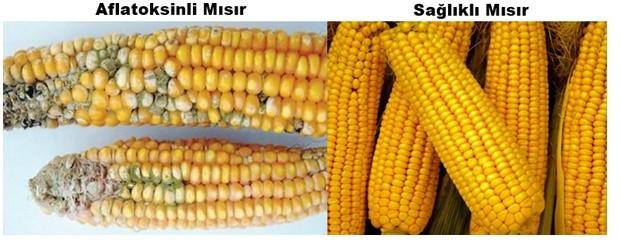 aflatoksin mısır